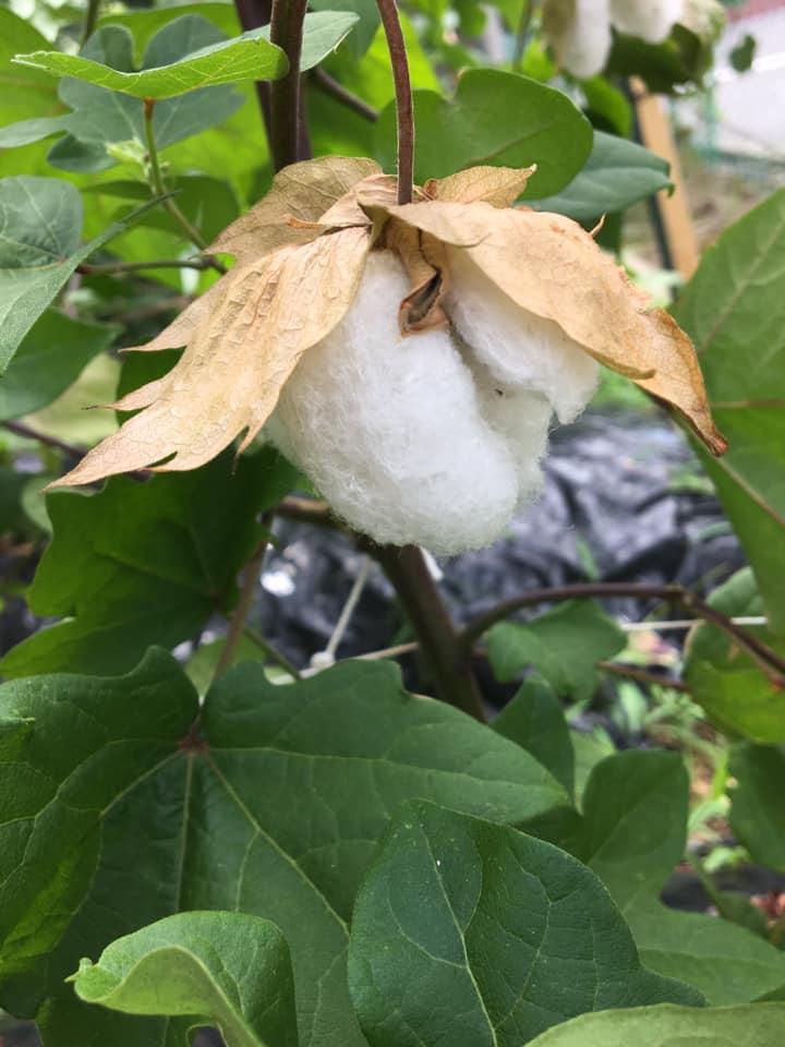 綿花の種をさしあげます